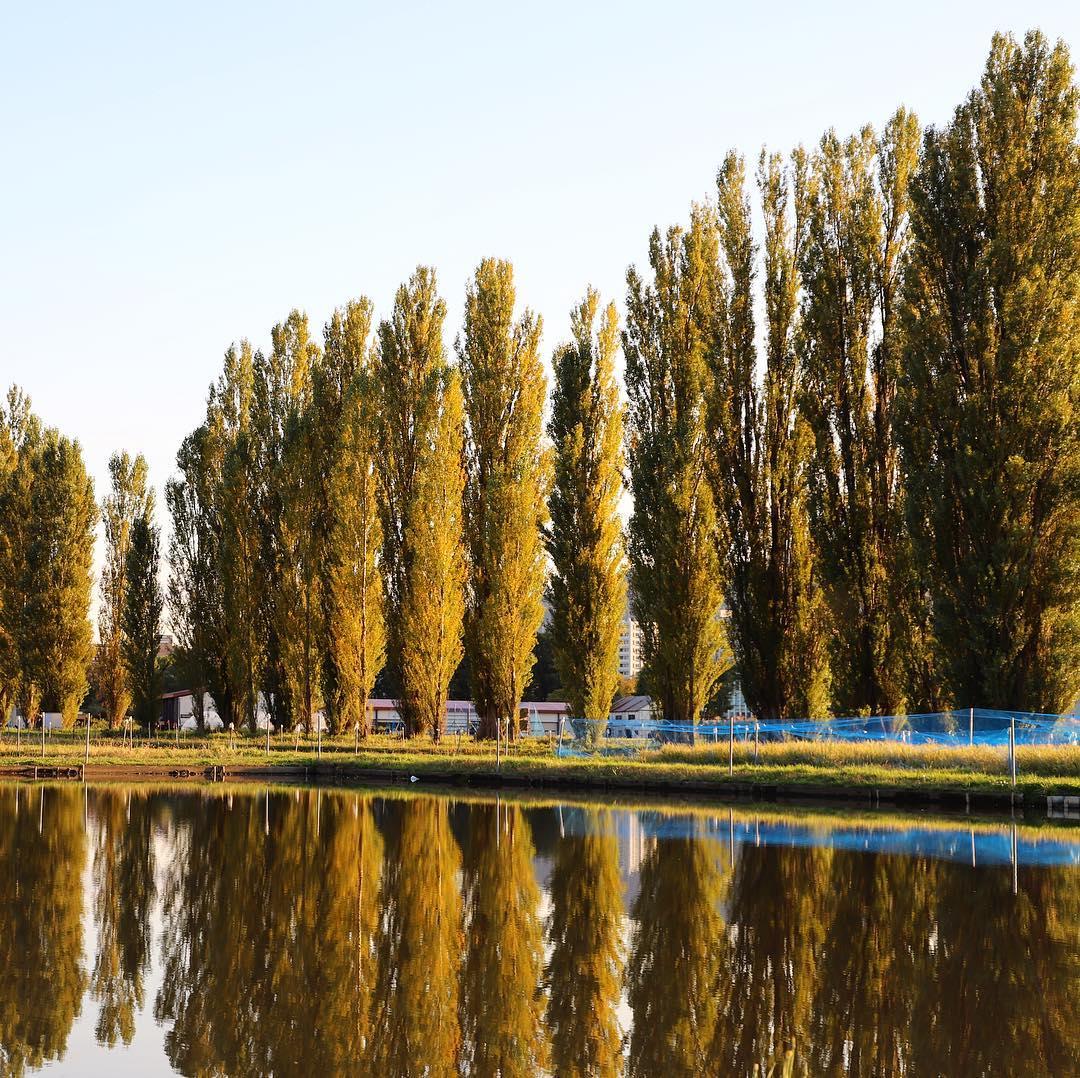 hu poplar trees